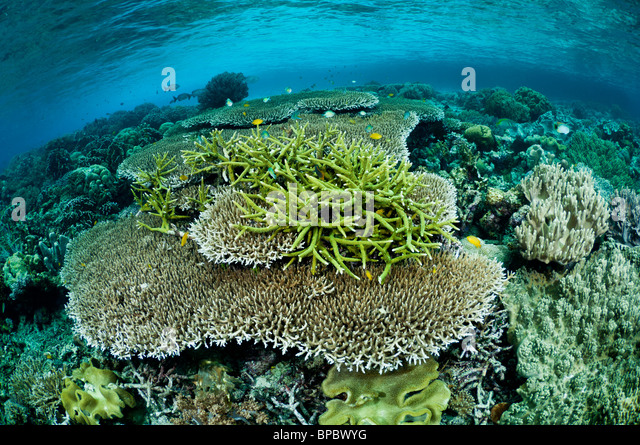 Healthy coral reef, Misool, Raja Ampat, West Papua, Indonesia. - Stock Image