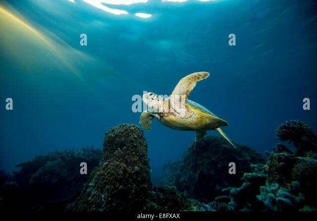 Australia, Lady Elliot Island, Turtle swimming underwater - Stock Image