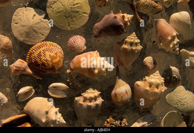 sea shells cluster seashells on bdach souvenirs sanibel captiva islands southwest florida barrier island lee county - Stock Image