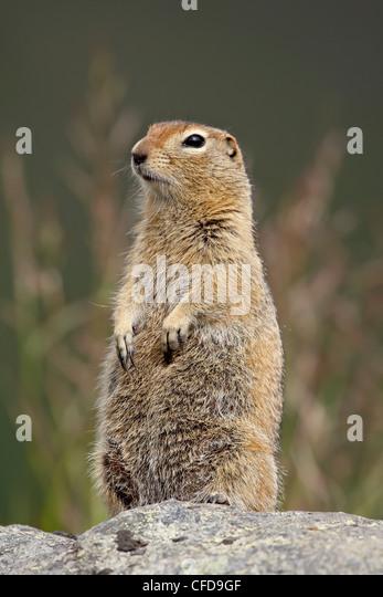 Arctic ground squirrel (Parka squirrel) (Citellus parryi), Hatcher Pass Alaska, United States of America, - Stock Image