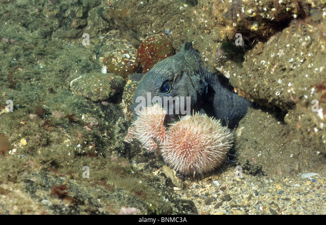 Urchin common stock photos urchin common stock images for Black wolf fish