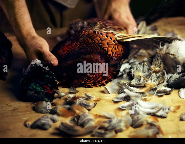 Preparing a pheasant - Stock-Bilder