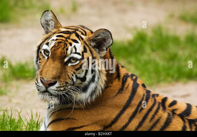 Sibirischer Tiger Panthera tigris altaica Amur Tiger Weibchen Portrait - Stock Image