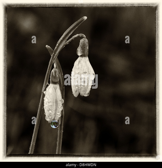 Some spring dew drops on Snowdrop flowers in a square sepia format - Stock Image
