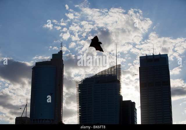 Fruit bats flying in front of Sydney city centre tower blocks, Australia. - Stock-Bilder