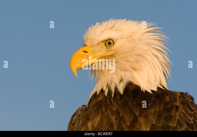 Close-up of a Bald eagle (Haliaeetus leucocephalus) - Stock-Bilder