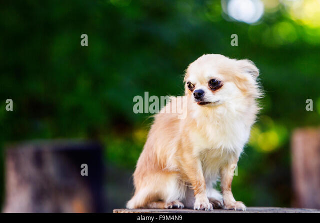 Little chihuahua afraid looking afraid and shy - Stock Image