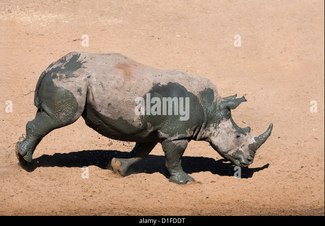 White rhino (Ceratotherium simum) running alongside waterhole, Mkhuze game reserve, KwaZulu Natal South Africa, - Stock Image