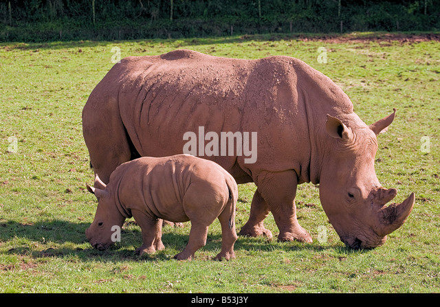 Mother and Baby Rhino - Stock Image