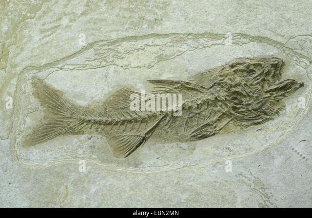 bony fish (Dapalis spec.), extinct bony fish from oligocene, France - Stock Image