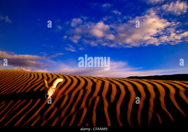 California bighorn sheep skull at sunrise on the Farwell Canyon sand dune in British Columbia, Canada - Stock Image