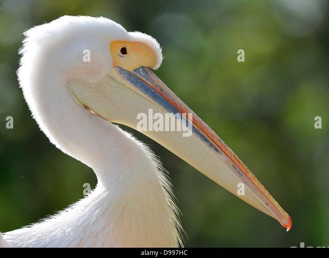Rose's pelican Pelecanus onocrotalus, portrait, animal - Stock Image