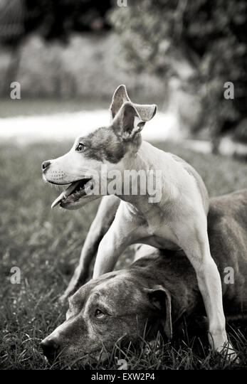 Senior dog laying down shows restraint as standing puppy straddles his head - Stock Image