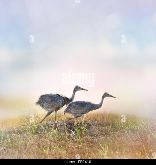 Sandhill Crane Chicks Walking At Sunrise - Stock Image