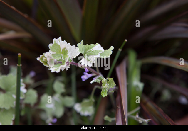 plectranthus stock photos plectranthus stock images alamy. Black Bedroom Furniture Sets. Home Design Ideas