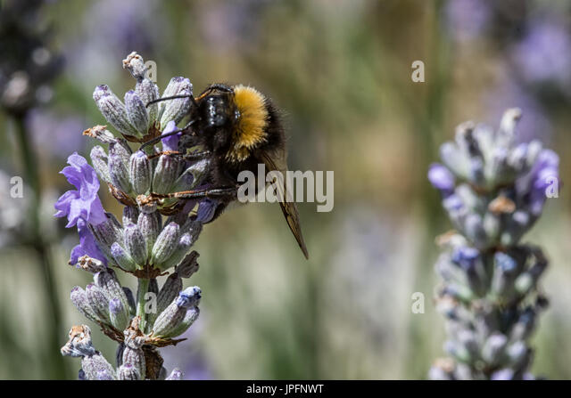 Burton Lazars, Leicestershire, UK. 1st August 2017. Cat watchers Bumblebees between sunshine and showers. Bumblebees - Stock Image
