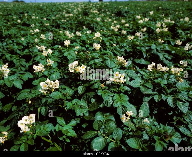 Potatoes, Co Dublin, Ireland - Stock Image