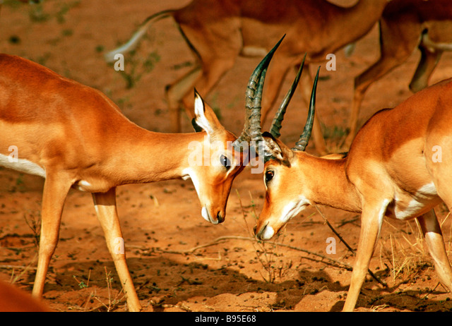 ANTELOPES FIGHTING IN KENYA - Stock Image