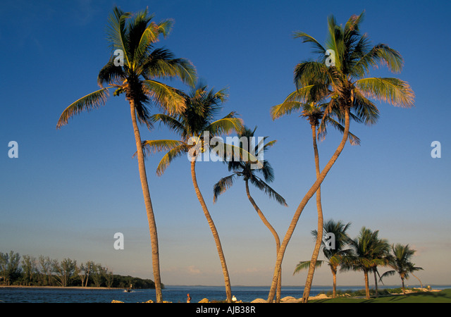 Palm trees,odd twisted shapes, trees in a row, captiva island, florida, fl, barrier island,  lee county - Stock Image