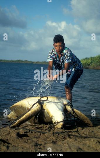 Loggerhead Sea Turtle trapped turtling loggerhead Miskito Coast Nicaragua - Stock Image