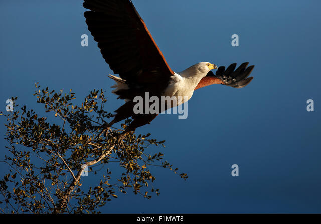 Majestic African Fish Eagle (Haliaeetus vocifer) taking flight from a tree branch against blue sky - Kruger National - Stock Image