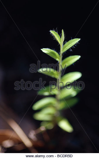 A new shoot reaches for sunlight from the shadows of the understorey. - Stock Image