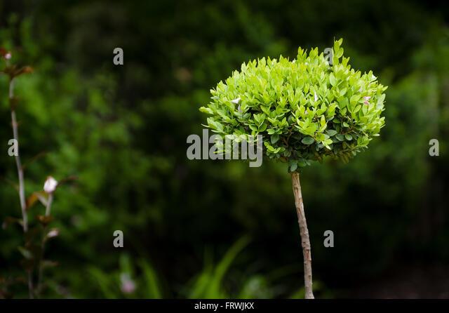 New leaves flourish on a small ornamental bush - Stock Image