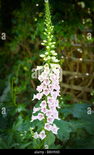 Common name: Foxglove Latin name: Digitalis - Stock Image