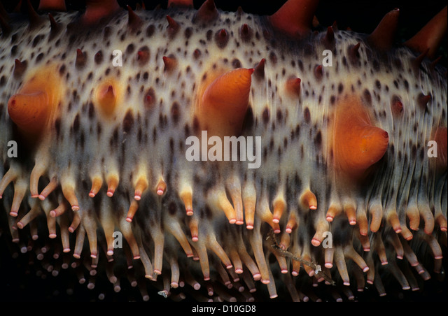 Skin of a California Sea Cucumber (Parastichopus californicus) showing tubed feet. Vancouver Island, British Columbia, - Stock Image