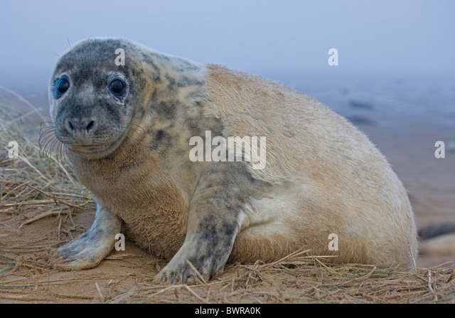 Grey Seal (Halichoerus grypus) - Pup portrait - Shows molting of creamy white baby fur - UK - Stock Image