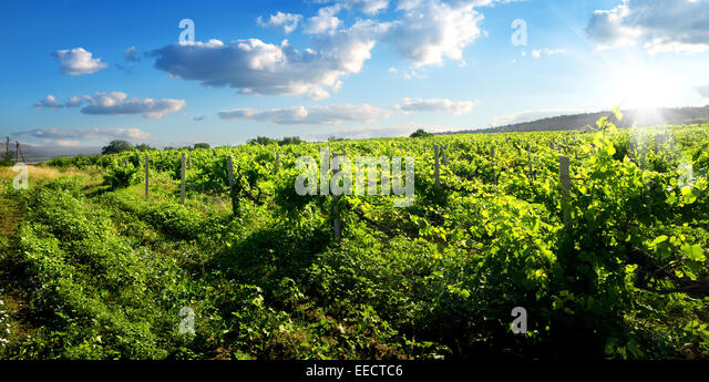 Beautiful green vineyard in sunny summer day - Stock Image