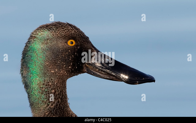 Northern Shoveler (Anas clypeata). Portrait of a drake - Stock Image