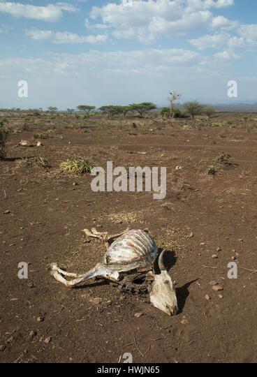 Dead cow during the drought, Oromia, Yabelo, Ethiopia - Stock-Bilder