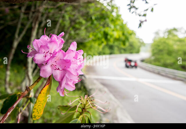 Cars Pass Rhododendron Bloom Along Blue Ridge Parkway in late spring - Stock Image