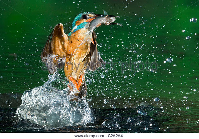 An adult male common kingfisher, Alcedo atthis, with a common roach. - Stock-Bilder