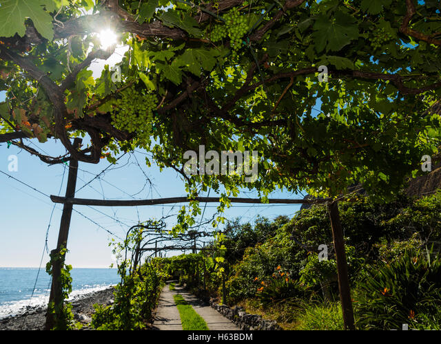 Grapevines grow at the beach of Faja dos Padres on the Portuguese island of Madeira - Stock Image