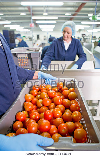 Worker carrying bin of ripe red tomatoes near production line in food processing plant - Stock Image