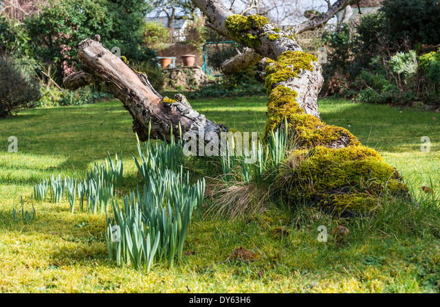Daffodils growing in garden under old apple tree in spring. Second of sequence of 10 (ten) images photographed over - Stock Image