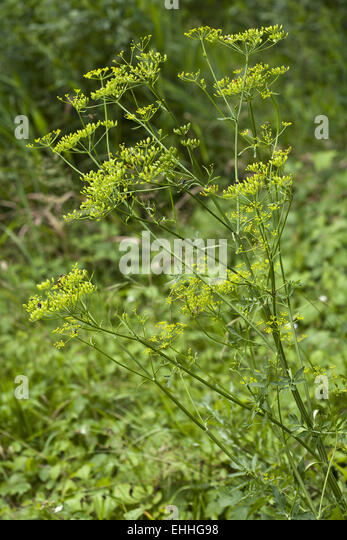 Pastinaca sativa, Parsnip - Stock Image