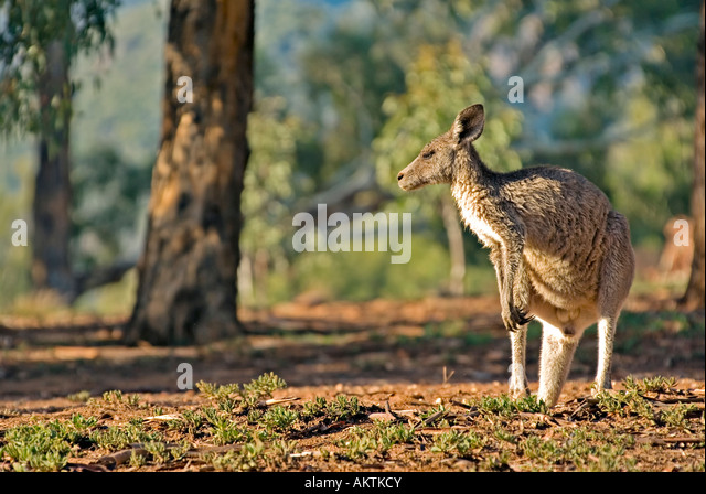 photo of an australian eastern grey kangaroo - Stock Image