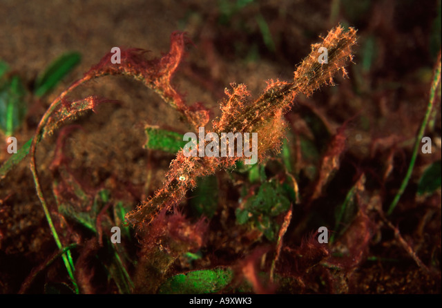 Rough Snout Ghostpipefish - Stock Image