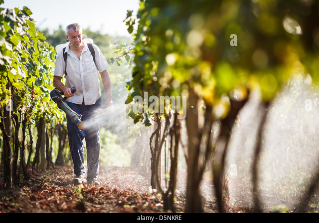 Vintner walking in his vineyard spraying chemicals on his vines - Stock Image