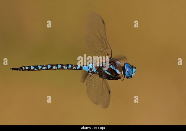 Blue-eyed darner (Rhionaeshna multicolor) in flight, Victoria, Vancouver Island, British Columbia, Canada - Stock Image