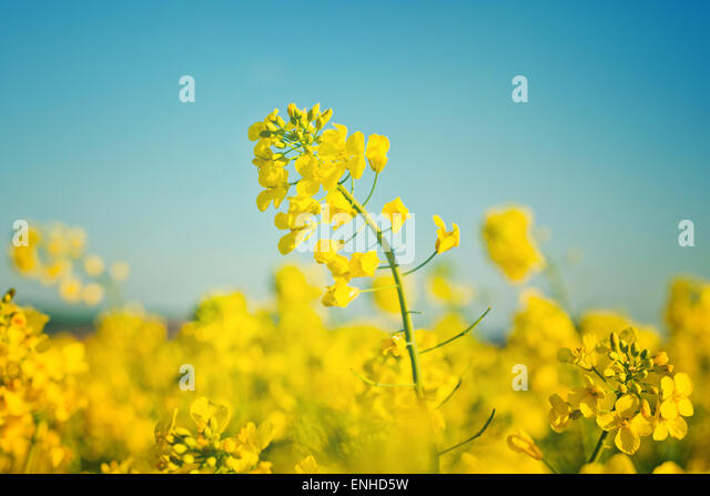 Oilseed Rapeseed Flowers in Cultivated Agricultural Field, Crop Protection Agrotech Concept, Close up with Selective - Stock-Bilder