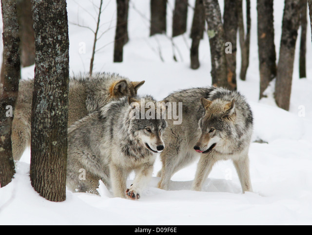 http://n7.alamy.com/zooms/141680c49ee146518cc0af91aed45592/playing-timber-wolves-pack-in-winter-d09f6e.jpg Gray