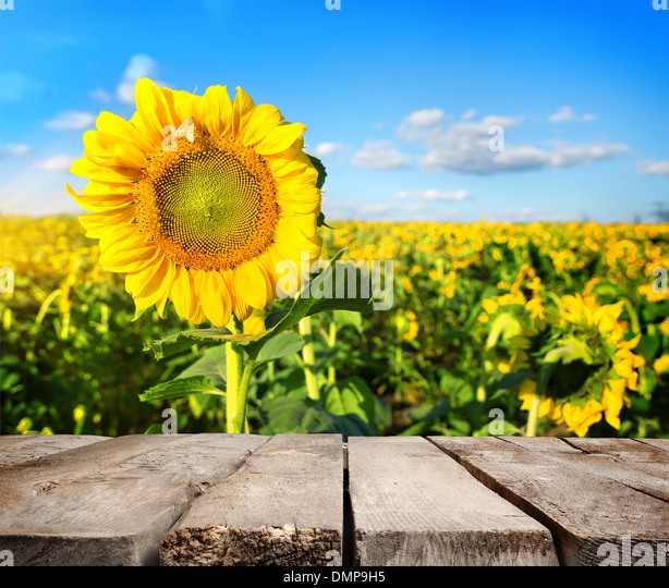 Table, field of sunflowers and blue sky lit by the sun - Stock Image