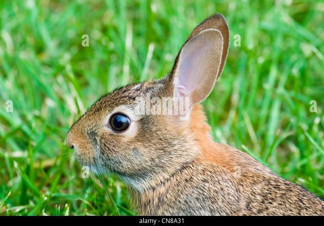 Cottontail Rabbit - Sylvilagus floridanus - Stock Image