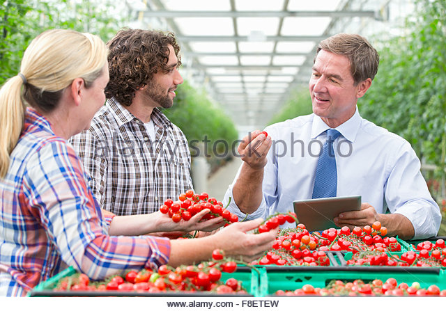 Businessman with digital tablet and growers inspecting ripe red vine tomatoes in greenhouse - Stock Image