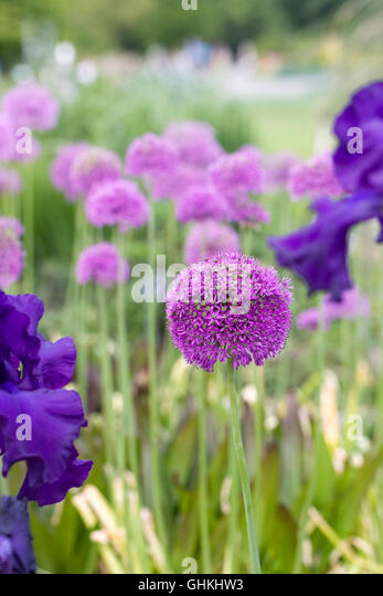Alliums and bearded irises growing in an English garden. - Stock Image