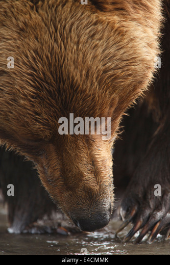 Brown / Grizzly Bear, Lake Clark National Park, Alaska. - Stock Image